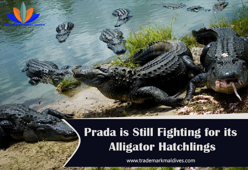 Prada Fights with Supplier for its Alligator Hatchlings
